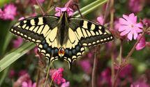 Swallowtail  (9)