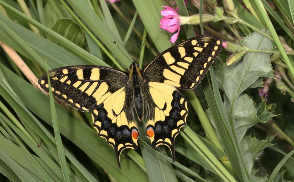 Swallowtail  (10)