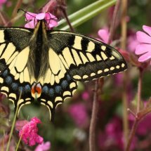 Swallowtail  (12)