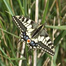 Swallowtail  (19)