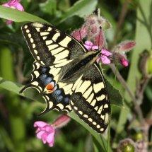 Swallowtail  (24)