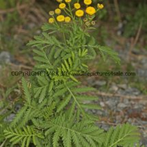 Tansy or Golden Buttons (Tanacetum vulgare) (1)