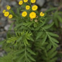 Tansy or Golden Buttons (Tanacetum vulgare) (3)