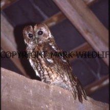 Tawny Owl017