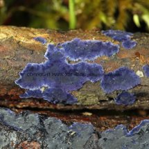 Terana caerulea Cobalt Crust fungus Hartslock Nature Reserve 13.2.2017 (1)