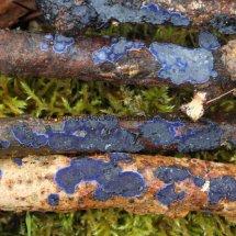 Terana caerulea Cobalt Crust fungus Hartslock Nature Reserve 13.2.2017 (12)
