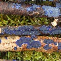 Terana caerulea Cobalt Crust fungus Hartslock Nature Reserve 13.2.2017 (13)