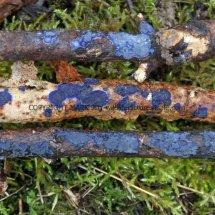 Terana caerulea Cobalt Crust fungus Hartslock Nature Reserve 13.2.2017 (2)