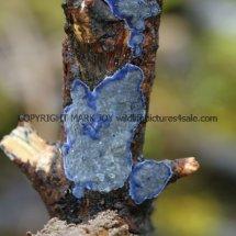 Terana caerulea Cobalt Crust fungus Hartslock Nature Reserve 13.2.2017 (5)