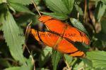 The Flame, Orange Julia, Julia Longwing, Flambeau (Dryas Julia) (2)
