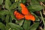 The Flame, Orange Julia, Julia Longwing, Flambeau (Dryas Julia) (3)