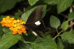 The Red Helen .... Papilio helenus  14 (3)