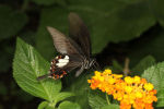 The Red Helen .... Papilio helenus  14 (2)