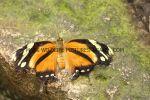 Tiger Leafwing Consul fabius