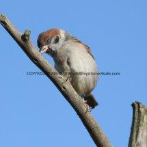 Tree Sparrow 1 (20)