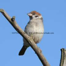 Tree Sparrow 1 (32)