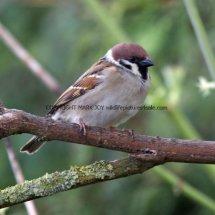 Tree Sparrow 1 (7)
