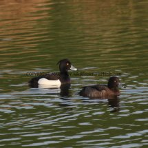 Tufted Duck (2)