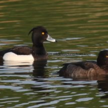 Tufted Duck (1)
