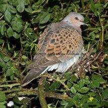 Turtle Dove (1)