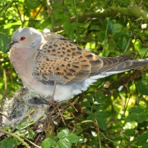 Turtle Dove (21)
