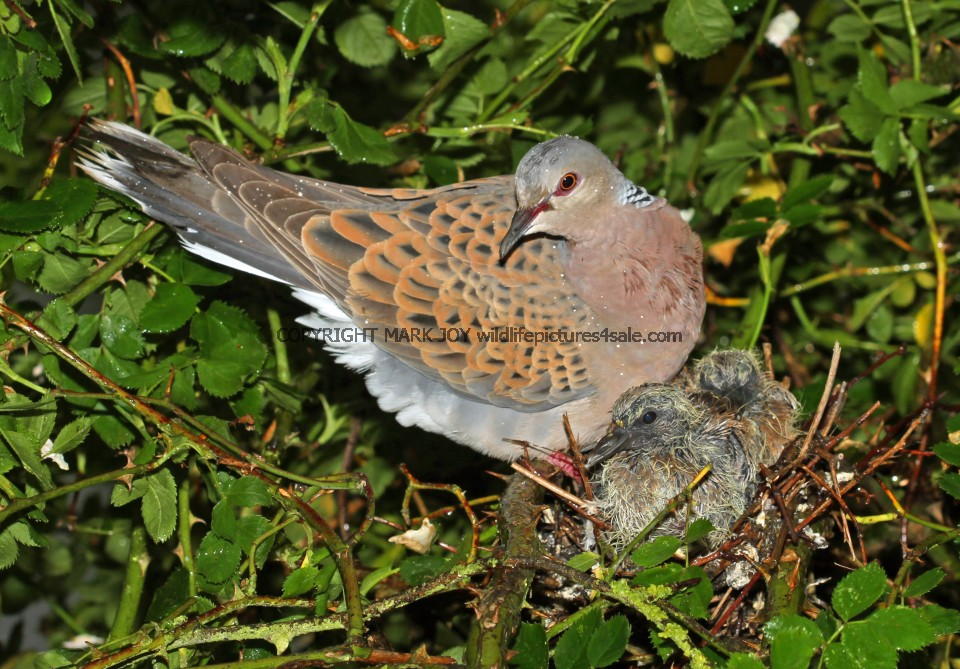 Turtle Dove (23)