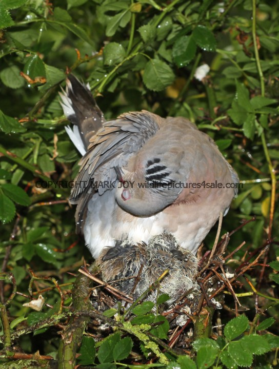 Turtle Dove (30)
