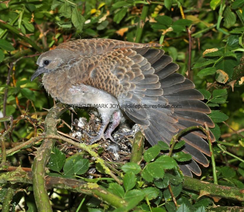 Turtle Dove (34)