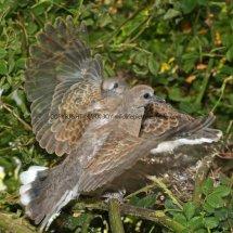 Turtle Dove (39)