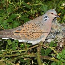 Turtle Dove (3)