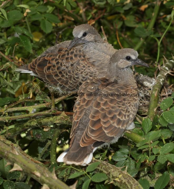 Turtle Dove (47)