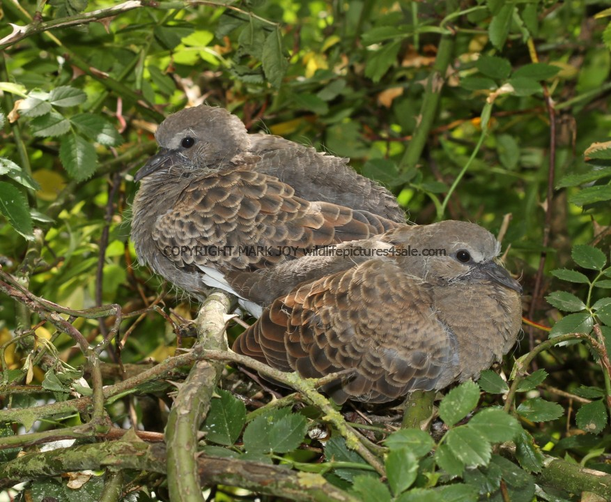 Turtle Dove (5)