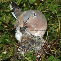 Turtle Dove (8)