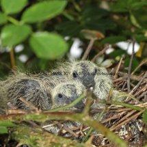 Turtle Dove nest 29.6.2016 (2)