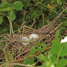 Turtle Dove nest