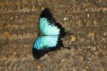Ulysses or Blue Mountain Swllowail (Papilio ulysses) (1)