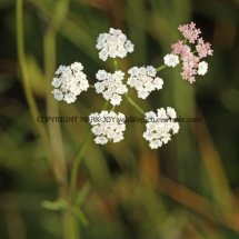 Upright Hedge Parsley (1)