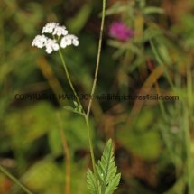 Upright Hedge Parsley (2)