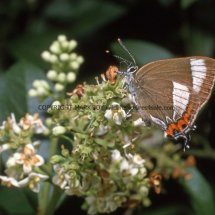 WHITE LETTER HAIRSTREAK (ab ALBOVIRGATA) (4)