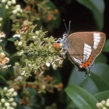 WHITE LETTER HAIRSTREAK (ab ALBOVIRGATA) (5)