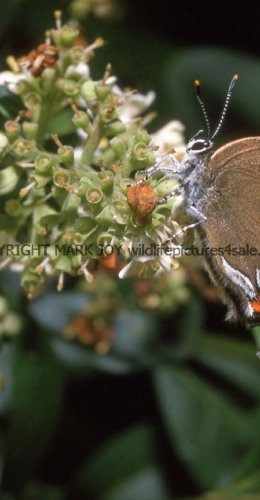 WHITE LETTER HAIRSTREAK (ab ALBOVIRGATA) (6)