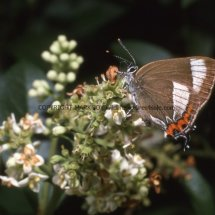 WHITE LETTER HAIRSTREAK (ab ALBOVIRGATA) (1)