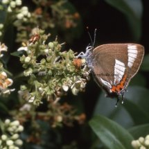 WHITE LETTER HAIRSTREAK (ab ALBOVIRGATA) (2)