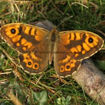 Wall Brown (1)
