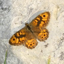 Wall Brown (2)