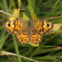 Wall Brown (3)