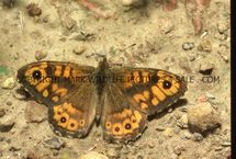 Wall Brown 4
