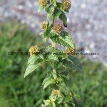 Water mint (Mentha aquatica) (2)