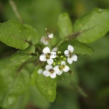 Watercress (Nasturtium officinale) (2)