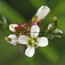 Wavy Bitter-cress (Cardamine flexuosa) (2)